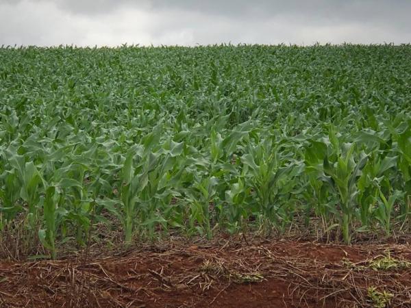 Plantio de milho no RS atinge metade da área prevista