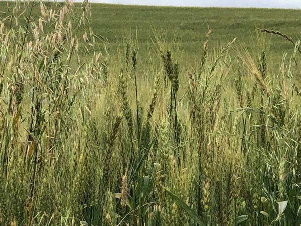 Produtores iniciam a colheita do trigo no Rio Grande do Sul