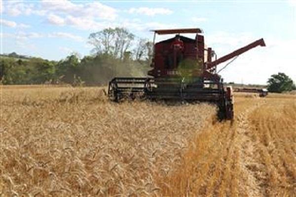 Primeiras lavouras de trigo no estado apresentam qualidade entre regular e boa