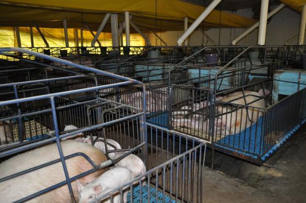 Três Passos foi o quarto município do RS que mais abateu suínos em 2018