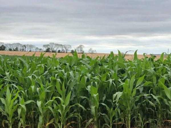 Algumas lavouras de milho sofrem com a baixa umidade do solo