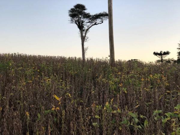 Área plantada com soja é recorde na história do estado