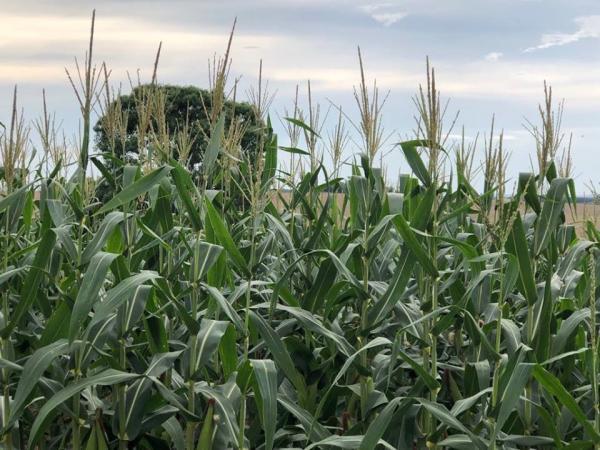 Colheita do milho será intensificada na Região Celeiro