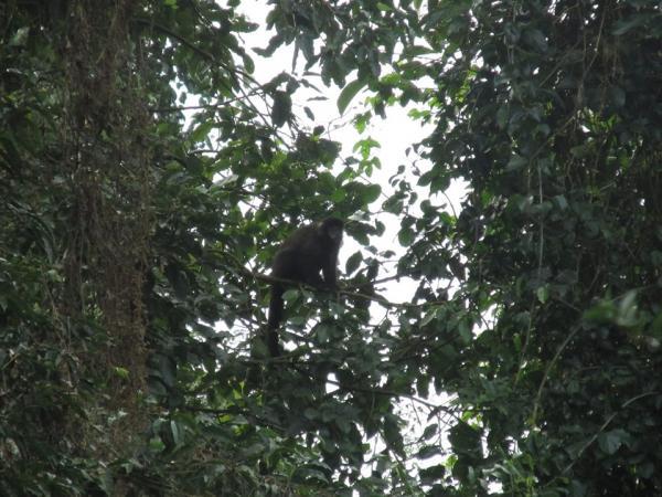 Macaco-prego é fotografado no Parque Estadual do Turvo