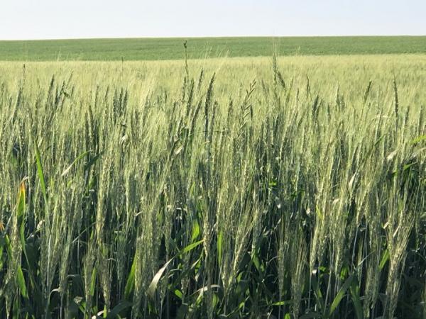 Lavouras de trigo apresentam bom desenvolvimento no Estado