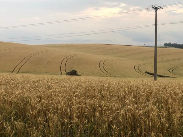 RS deve produzir 1,6 milhão de toneladas de trigo nesta safra
