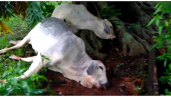 Raio atinge propriedade em São Nicolau e mata 12 bovinos