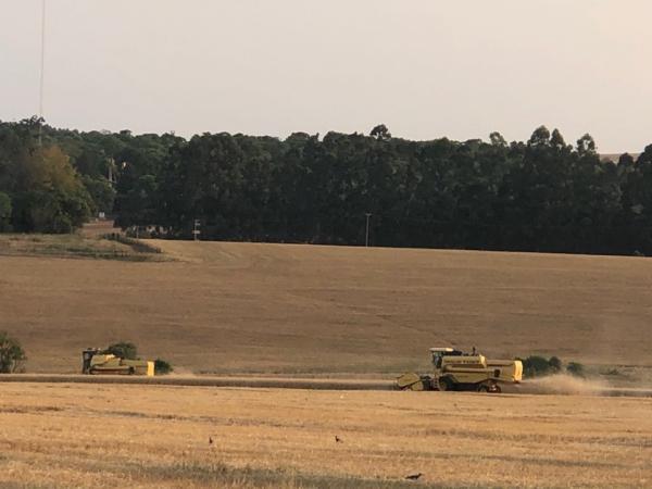 Colheita de trigo atinge 67% da área plantada no Estado
