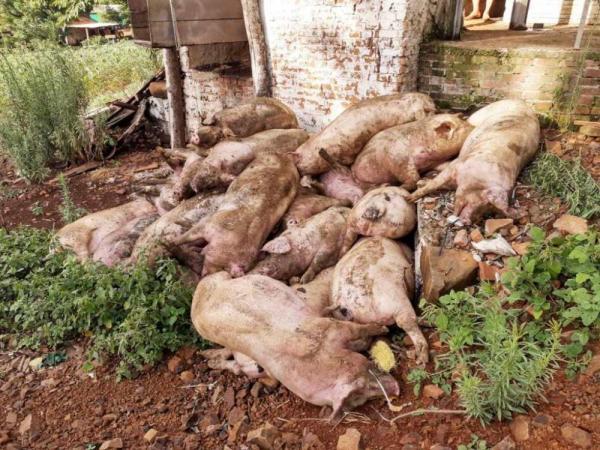 Suínos morrem após chiqueiro ser atingido por raio em Humaitá