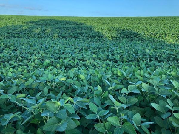 Mesmo sem chuvas regulares, desenvolvimento da soja ainda é considerado satisfatório