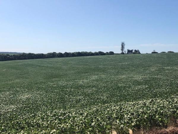 Maioria das lavouras com soja no Rio Grande do Sul está na fase de enchimento de grãos