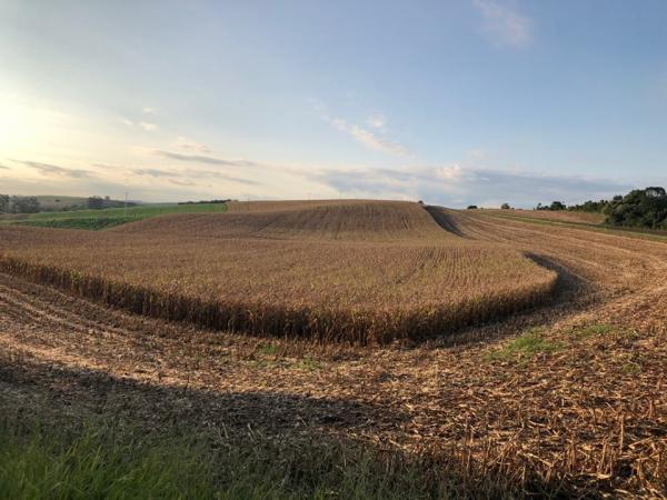 Produtores gaúchos já colheram 43% das lavouras com milho