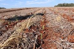 Região Noroeste larga na frente no estado no plantio de milho