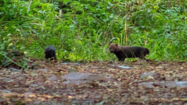 Espécie ameaçada de extinção é fotografada no Parque Estadual do Turvo