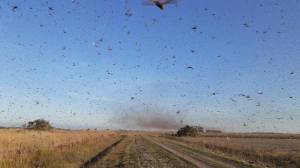 SEAPDR aumenta vigilância sobre nuvem de gafanhotos que está na Argentina
