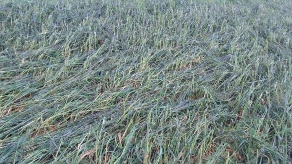 Temporal de granizo prejudica culturas de inverno em Coronel Bicaco