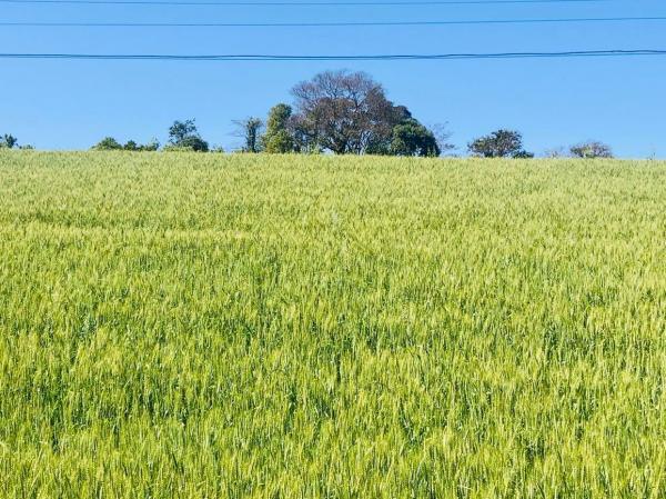 Condições climáticas auxiliam na recuperação das lavouras de trigo afetadas pelas geadas