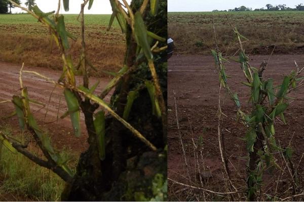 SEAPDR monitora surtos de gafanhotos na Região Celeiro