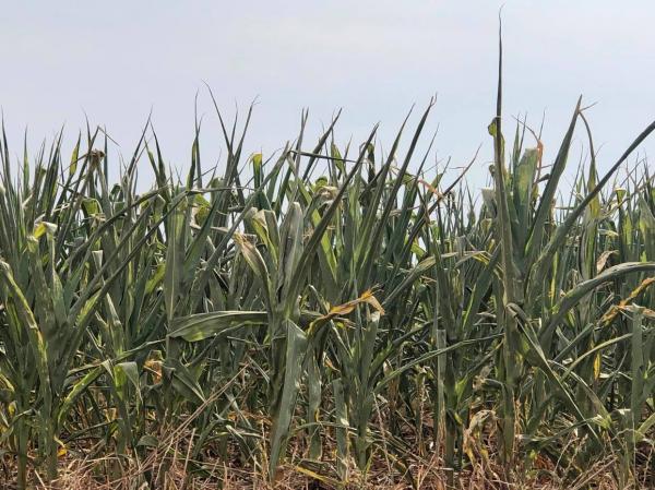 Produtores de milho da Região Noroeste registram perdas em função da estiagem