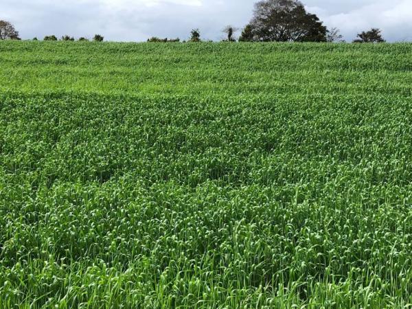 Maioria das lavouras de trigo está nas fases de enchimento de grãos e floração no Rio Grande do Sul